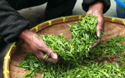 Comment est produit le thé ?