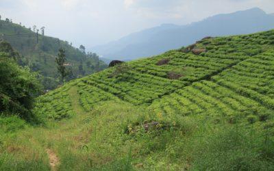 Qu'est-ce que le thé Darjeeling ?